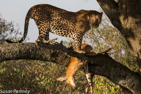 (I chose to show this leopard with his kill in the tree to underscore him as a predator)